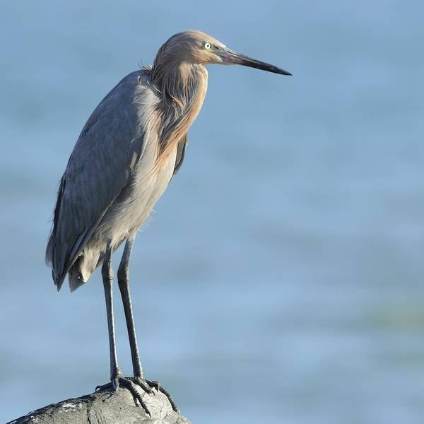 Photograph - Reddish Egret Perched On A Jetty Rock by Bradford Martin