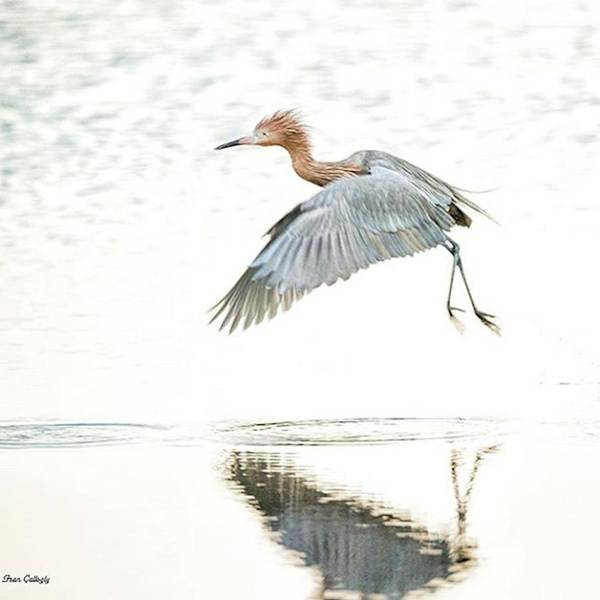 Egret Photograph - Reddish Egret Takes Off At The Merritt by Fran Gallogly