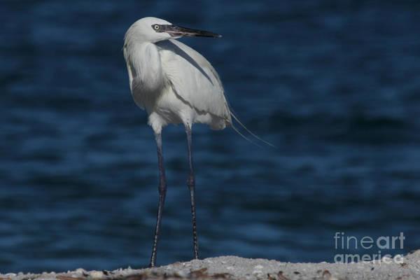 Photograph - Reddish Egret - White Form by Meg Rousher