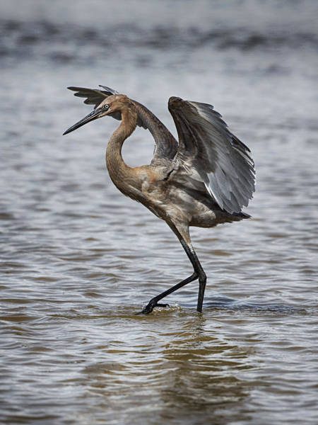 Photograph - Reddish Heron Dance by Charles McKelroy