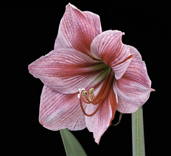 Photograph - Reddish Pink Lily by Ken Barrett