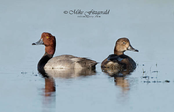 Photograph - Redhead Pair by Mike Fitzgerald