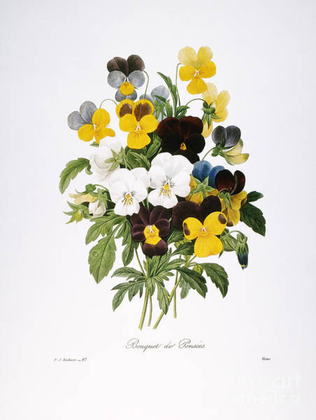 Photograph - Redoute: Pansy, 1833 by Granger