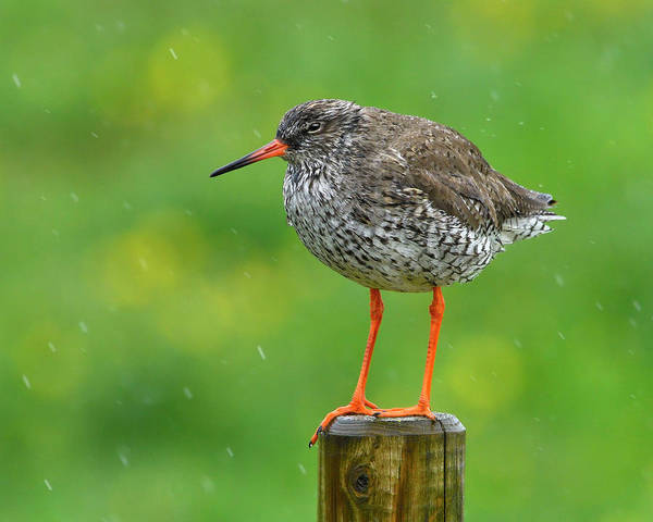 Wall Art - Photograph - Redshank  by Tony Beck