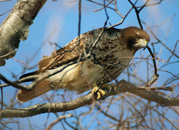 Photograph - Redtail Among Branches by William Selander