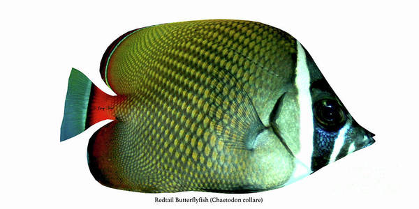 Temperament Digital Art - Redtail Butterflyfish by Corey Ford