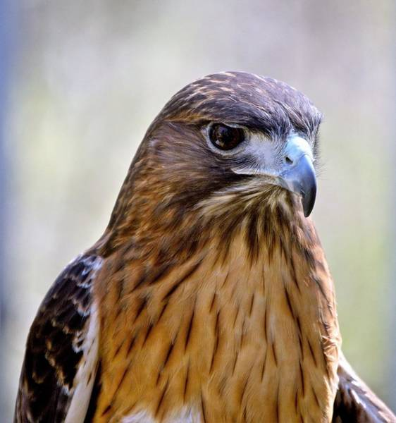 Wall Art - Photograph - Redtail Hawk by Charles HALL