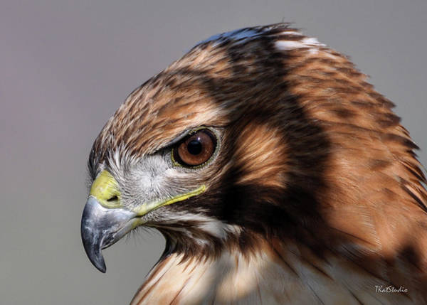 Photograph - Redtail Hawk by Tim Kathka