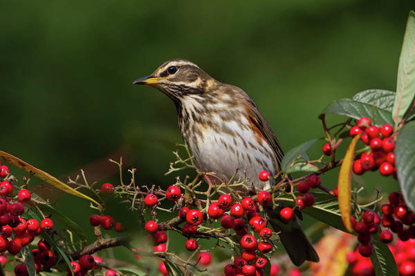 Photograph - Redwing by Peter Walkden