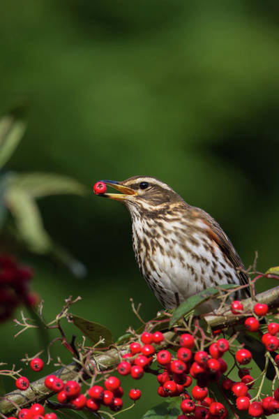 Photograph - Redwing With Berry by Peter Walkden