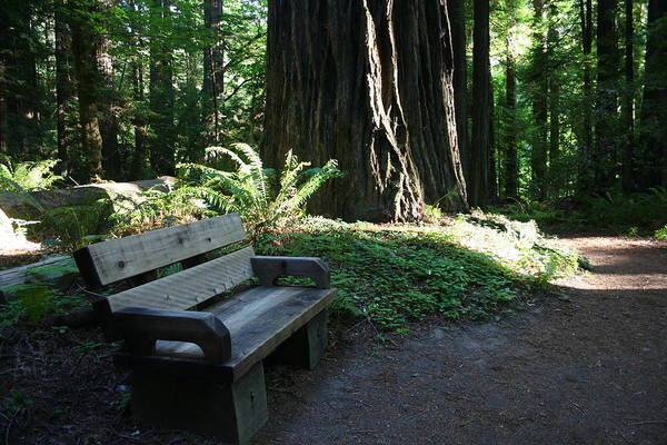 Photograph - Redwood Bench II by Dylan Punke