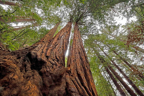 Photograph - Redwood Canopy by Nicholas Blackwell
