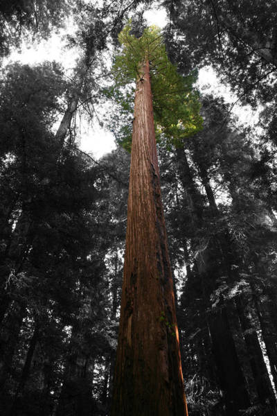 Photograph - Redwood by Dylan Punke