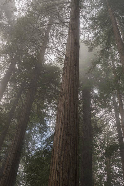 Redwoods Photograph - Redwood Fog California by Steve Gadomski