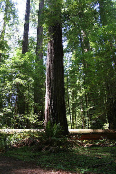 Photograph - Redwood Perpendicular by Dylan Punke