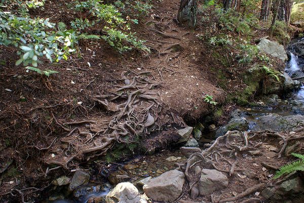 Photograph - Redwood Roots On Mt Tamalpais #1 by Ben Upham III