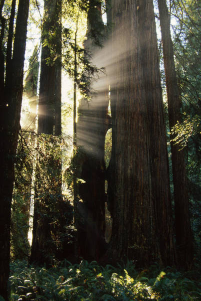 Redwood City Wall Art - Photograph - Redwood Sunrise by Soli Deo Gloria Wilderness And Wildlife Photography