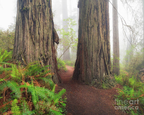Photograph - Redwood Trail by Anthony Bonafede