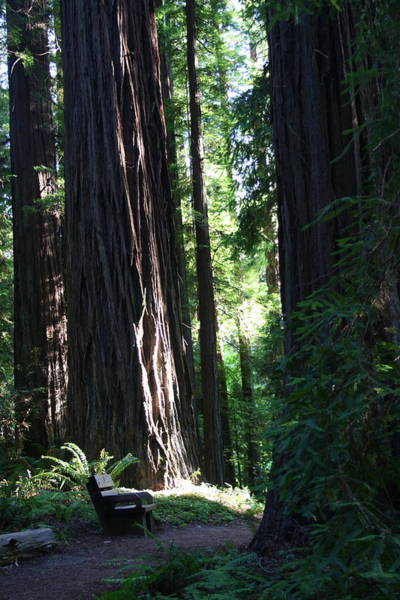 Photograph - Redwood Trail by Dylan Punke
