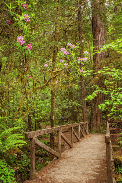 Redwood Trail  In The Spring Art Print by Andrew Soundarajan