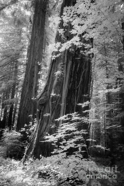 Photograph - Redwood Trunk by Craig J Satterlee