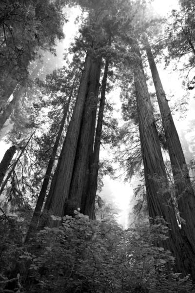 Photograph - Redwoods In The Fog by Loree Johnson