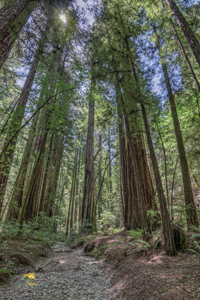 Photograph - Redwoods by Jim Thompson