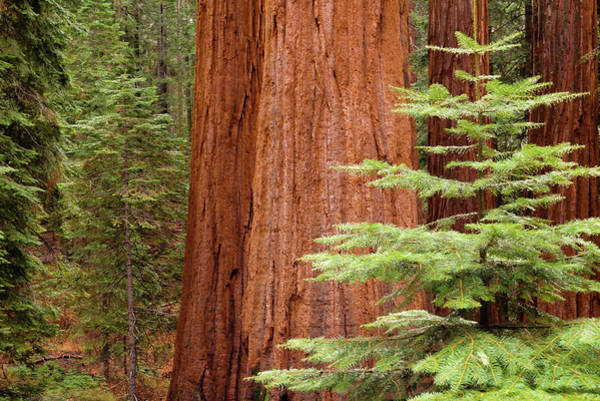 Wall Art - Photograph - Redwoods by Joseph Smith