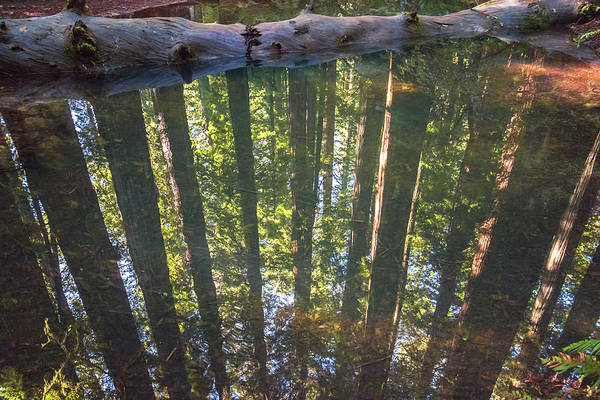 Photograph - Redwoods Reflected by Loree Johnson