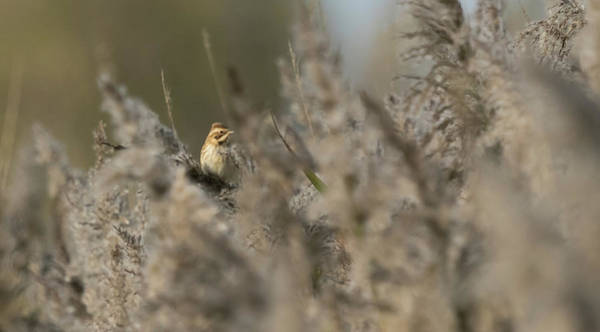 Photograph - Reed Bunting by Wendy Cooper