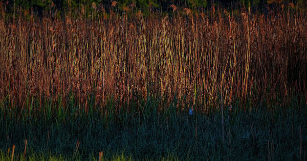 Photograph - Reed In Morning Light #h5 by Leif Sohlman