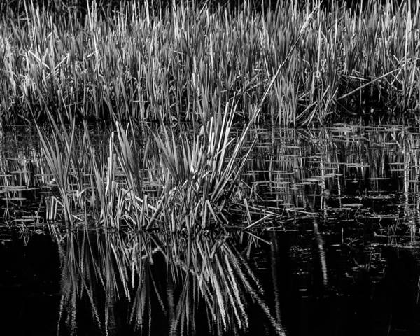 Reeds Reflection  Art Print