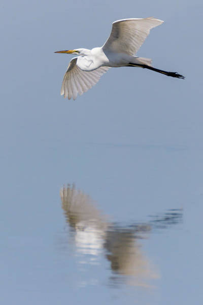 Photograph - Reflected Great Egret In Flight  by Dawn Currie