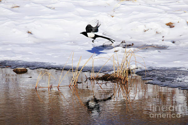 Lethbridge Photograph - Reflecting Magpie by Alyce Taylor