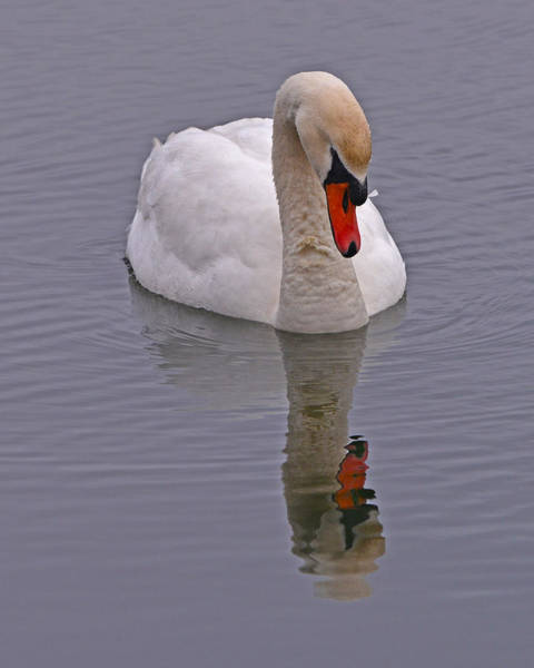Photograph - Reflecting Swan by Ken Stampfer