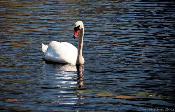 Reflecting Swan Art Print