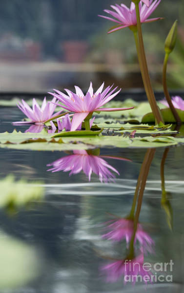 Pink Lotus Flower Photograph - Reflecting Waterlily  by Tim Gainey