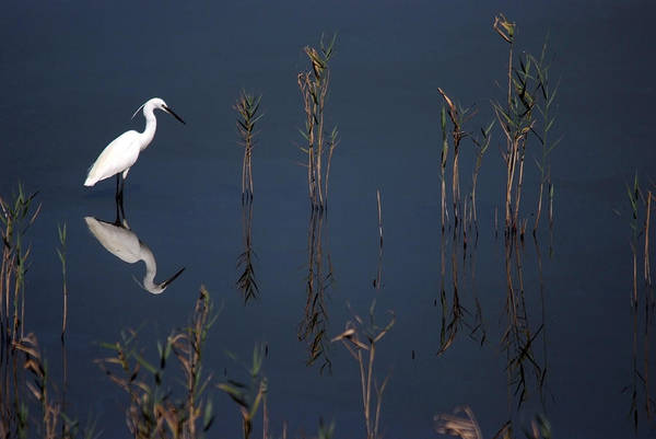 Reflection Of Little Egret In Lake Art Print