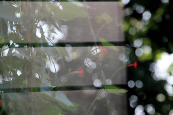 Photograph - Reflection Of Morning Glories 7084 by Ericamaxine Price
