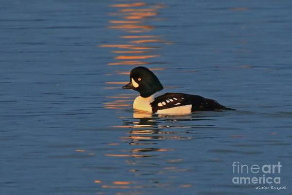 Wall Art - Photograph - Reflection With A Goldeneye by Winston Rockwell