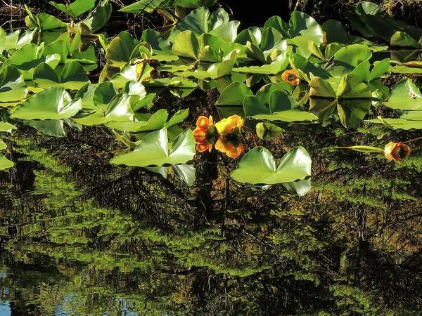 Photograph - Reflections And Yellow Pond Lily by NaturesPix