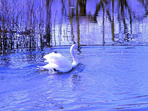 Swan Photograph - Reflections In Blue by Kendall Eutemey
