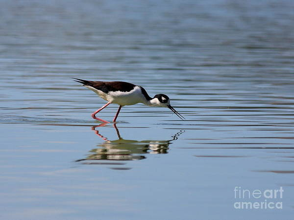 Photograph - Reflections Of A Black Necked Stilt by Wingsdomain Art and Photography