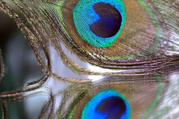 Photograph - Reflections Of A Feather by Angela Murdock