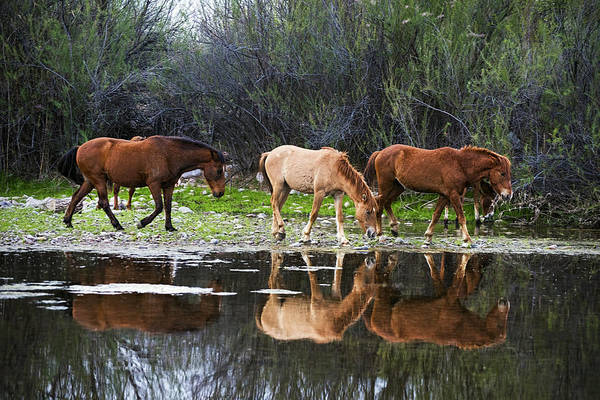 Photograph - Reflections Of Wild Horses In The Salt River by Dave Dilli