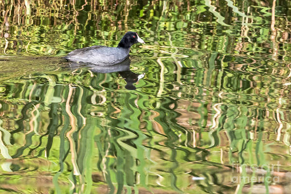 Photograph - Reflective Coot by Kate Brown