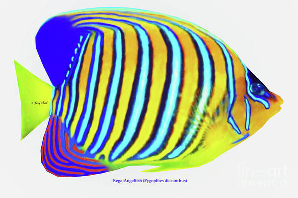 Regal Digital Art - Regal Angelfish by Corey Ford