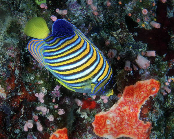 Photograph - Regal Angelfish, Great Barrier Reef by Pauline Walsh Jacobson