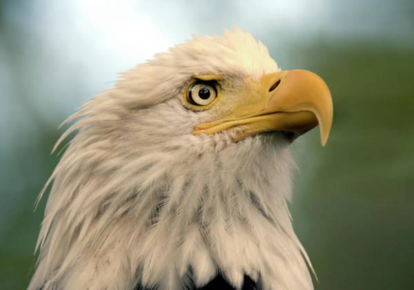 Photograph - Regal Bald Eagle by Judi Dressler