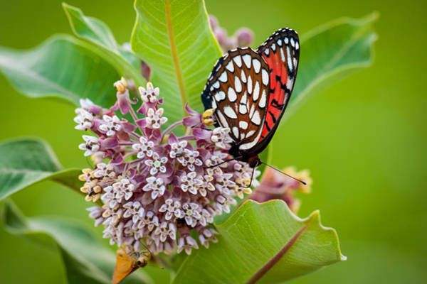 Photograph - Regal Fritillary On Milkweed Plant by Jeff Phillippi